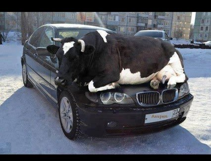cow on bmw