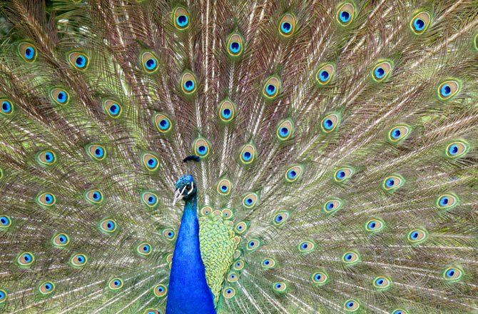 3-display-peacock