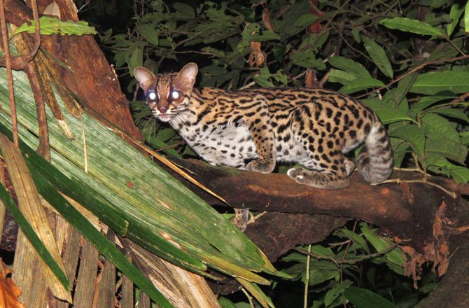 7_margay-new-species-found-in-tropical-rainforest