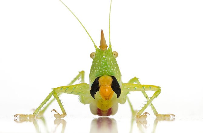 8_katydid-new-species-found-in-tropical-rainforest