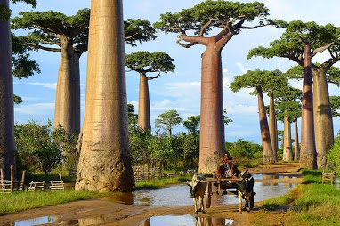 African Boabab Trees