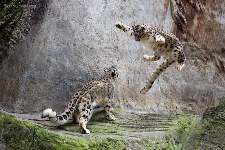 Flying snow leopard
