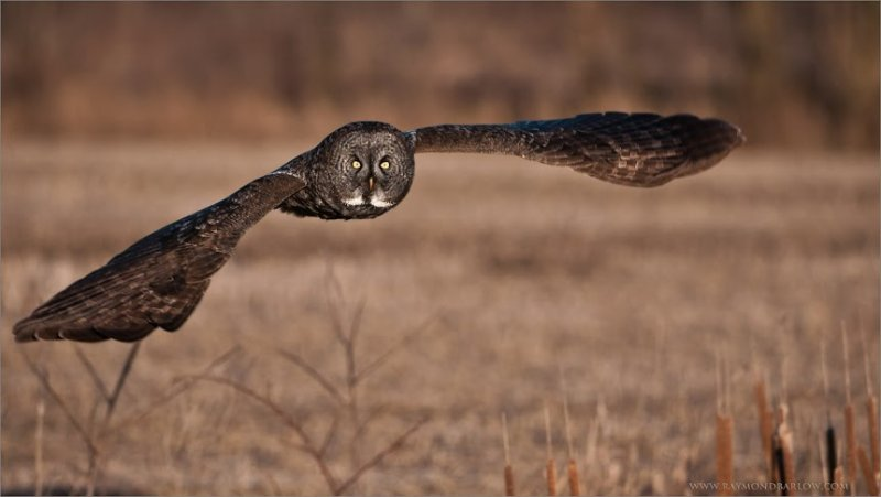 Great Gray Owl in Flight 1600 share