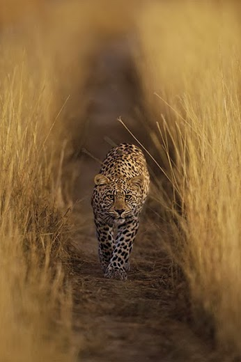 Luna the leopardess walks through a field of high grass. Hannes Lochner Photography