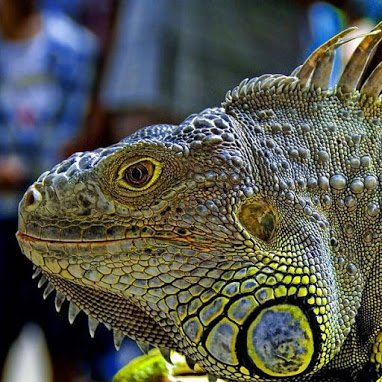 Magnificent Iguana.