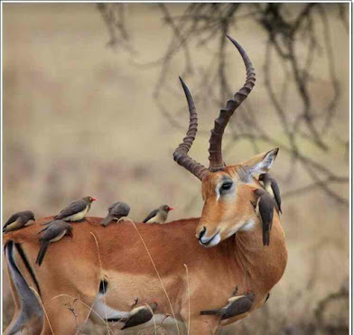 antelope and birds