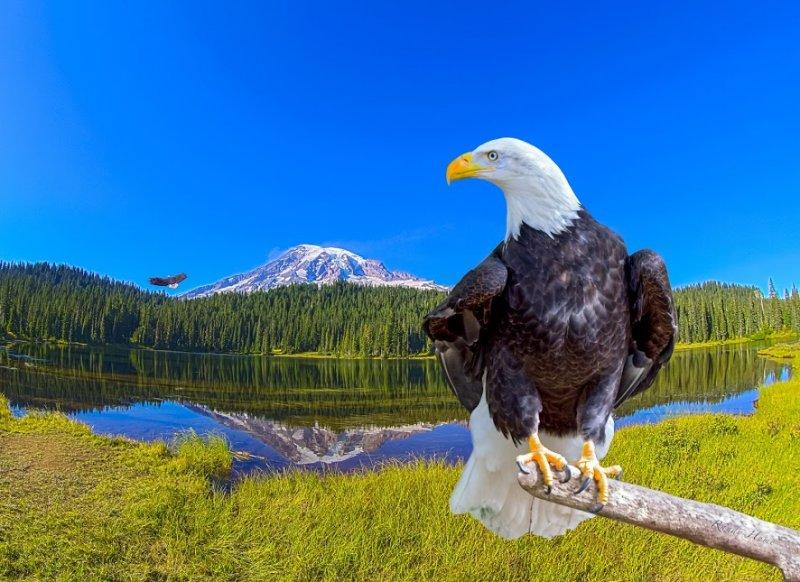 bald eagle2