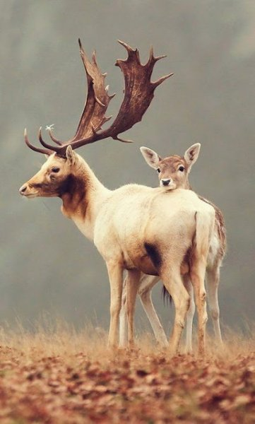 beautiful deer