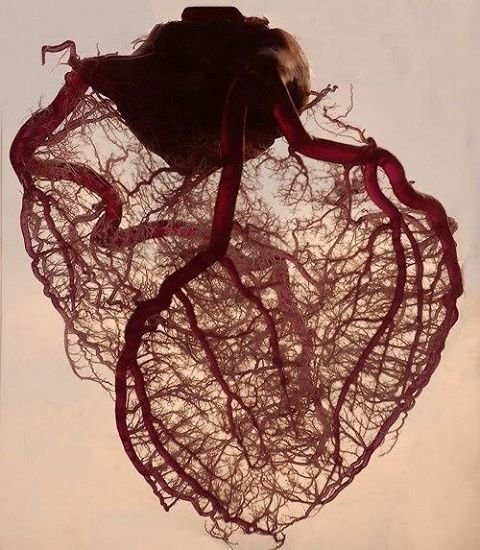 blood vessel in human heart