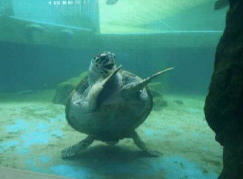 clapping turtle