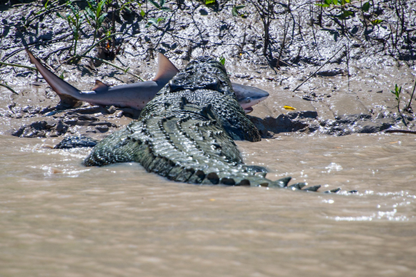 croc killed shark