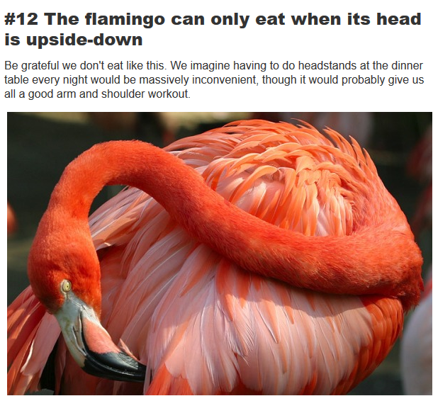 flamingo eats with head turn down