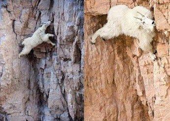 goat climbers