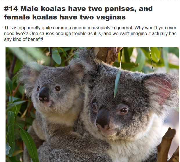 koala has two penises
