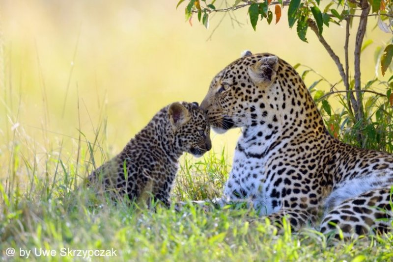 leopard motherly love