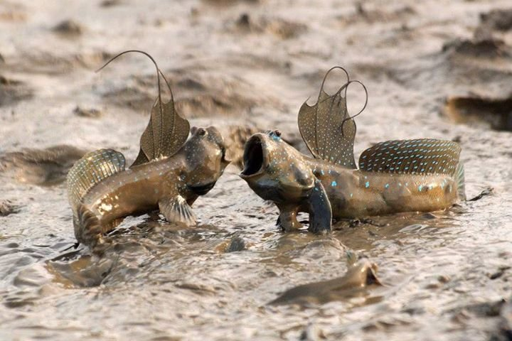 mudskippers - fishes that live out of water