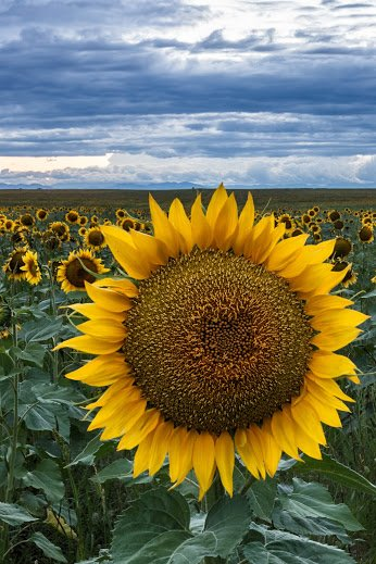 sunflower field near denver colorado airport