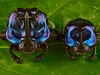 12_blue_dung_beetle-new-species-found-in-tropical-rainforest