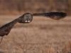 Great Gray Owl in Flight 1600 share