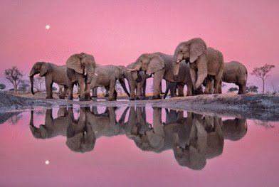 pinkish elephant