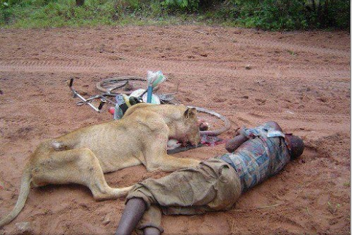 died fighting lion