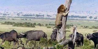 fleeing lion