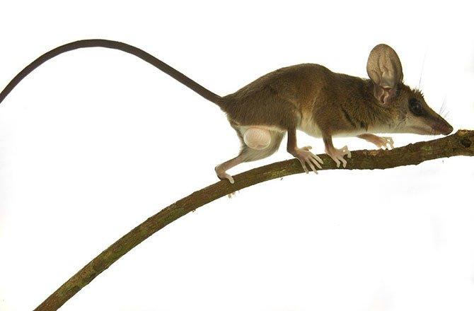 11_delicate_slender_opossum-new-species-found-in-tropical-rainforest