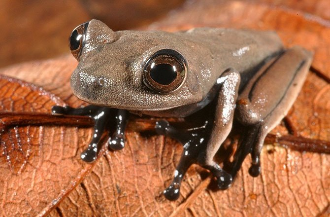 1_cocoa-frog-new-species-found-in-tropical-rainforest