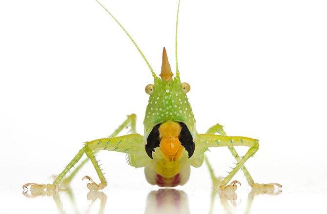 8_katydid-new-species-found-in-tropical-rainforest