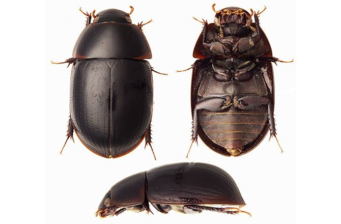 9_water_beetle-new-species-found-in-tropical-rainforest