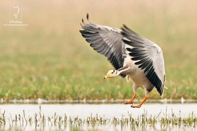 Bird-Photography-by-Prathap-Bharatpur-Bird-Sanctuary-Keoladeo-National-Parker-Bar-Headed-Goose-in-Flight-Prathap-Photography