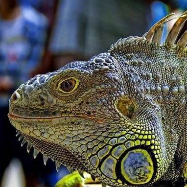 Magnificent Iguana.