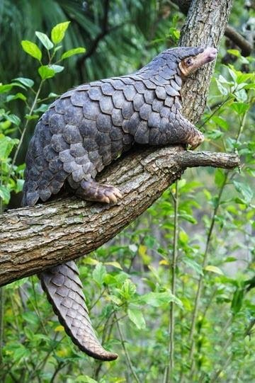 Pangolins are found naturally in tropical regions throughout Africa and Asia
