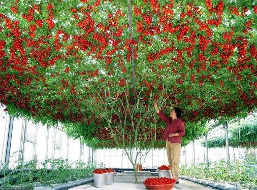 Taking tomato planting to a whole new level QtehkWS