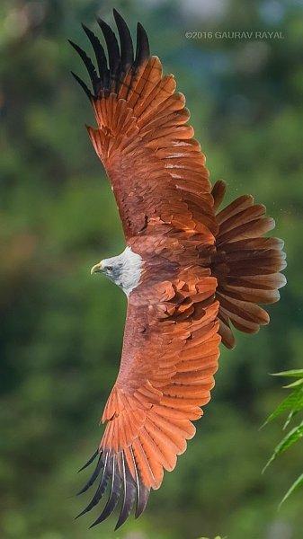 The majestic flight of a Brahminy kite