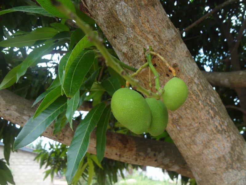 amazing mangoes