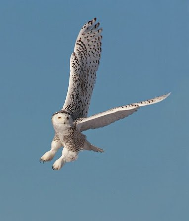 beautiful owl2