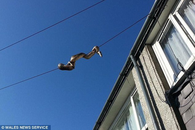 boa on a wire in  awelsh town