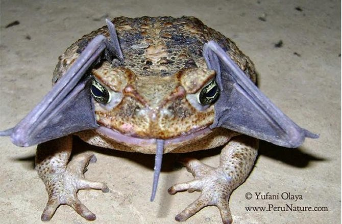 cane-toad-eating-a-bat-670x440