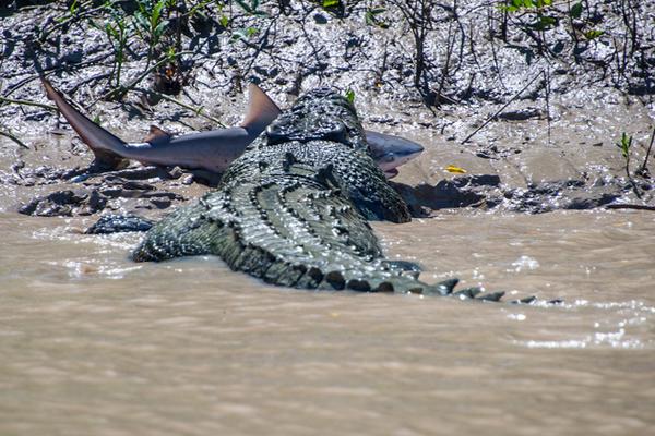 croc killed shark