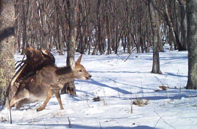 eagle-deer-attack