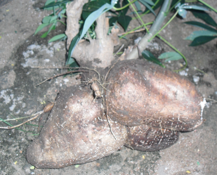 huge cassava1