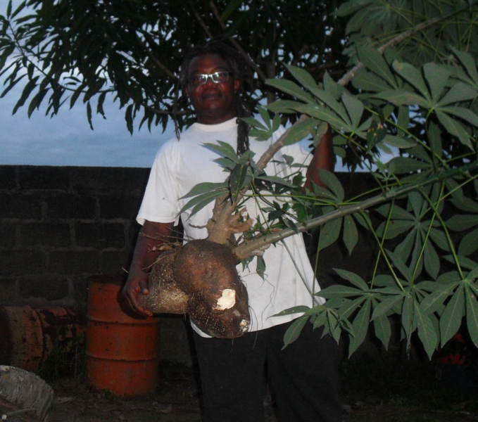 huge cassava2