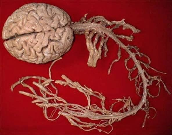 human brain and spinal cord
