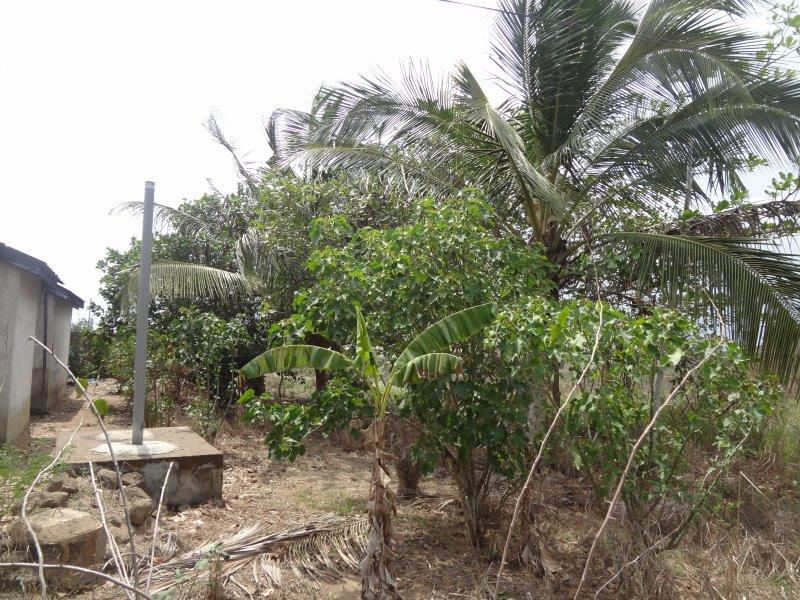 jatropha n coconut