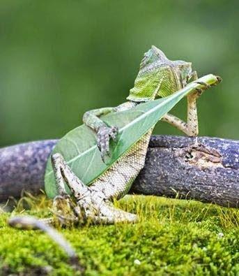 posing chameleon