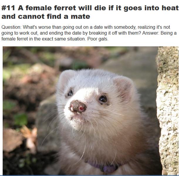 sex-starved ferret die