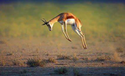 south-african-springbok