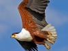 1aB-African Fish Eagle