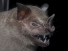 4_larger_fruit-eating_bat-new-species-found-in-tropical-rainforest